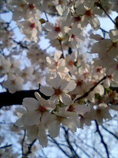 世田谷公園で桜