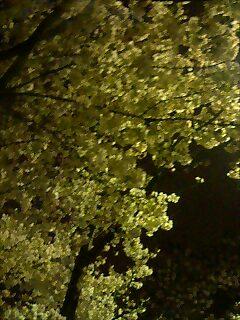 青山墓地の夜桜