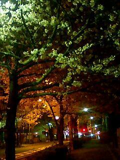 哲学堂前の夜桜