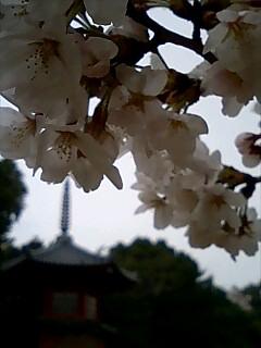 哲学堂公園内の桜